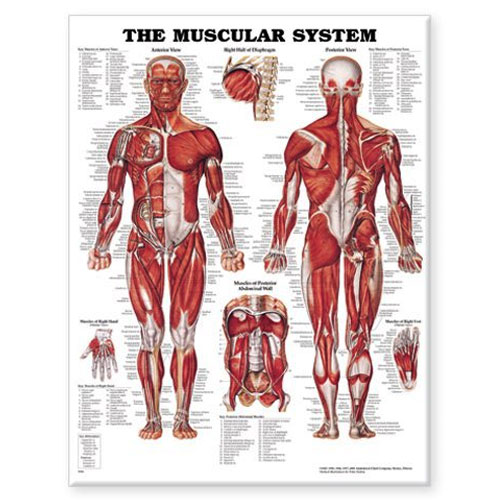Image For ANATOMICAL MUSCULAR SYSTEM
