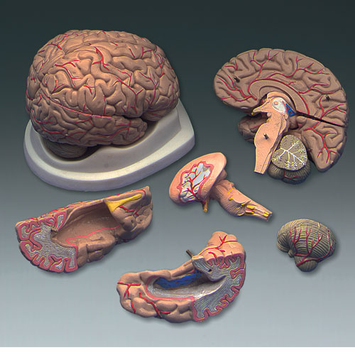 Image For BUDGET BRAIN W/ARTERIES