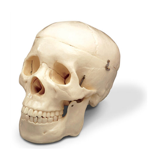 Cover Image For Human Skull Model-Life Size Replica