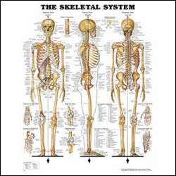 Image For Skeletal System Anatomical Chart