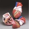 Image for BUDGET JUMBO HEART MODEL