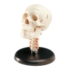 Image for Human Skull Model With Cervical Vertebrae